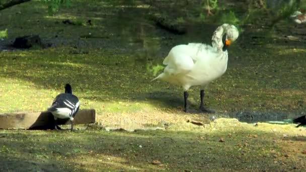 Labuť zpěvná stojící na břehu potoka, on čistí peří