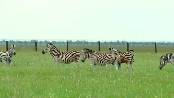 Un branco di zebre che pascono nella prateria su unerba verde