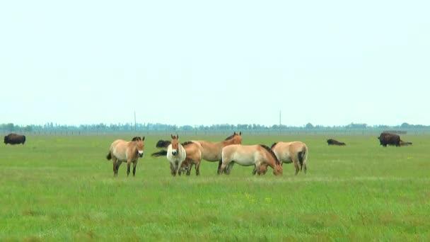 Koně Převalského ve stepi. V pozadí můžete vidět bizoni