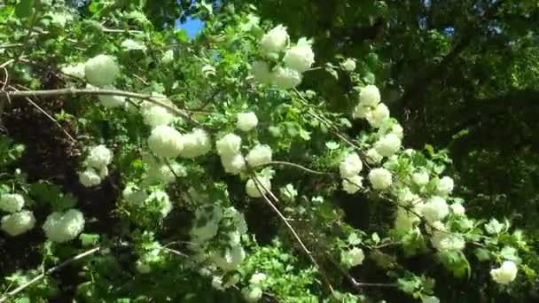 Keř s bílými květy Kalina v volně žijících živočichů