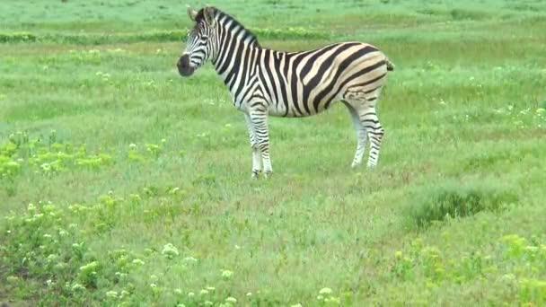 Zebra álló előtt a fényképezőgép-oldalra