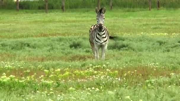 Zebra állt a sivatagban, a fűben, és néztem a kamera