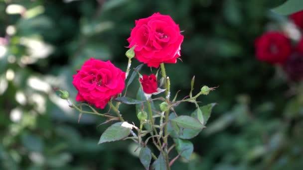 Červené růže za slunečného dne, který je rozmazané pozadí