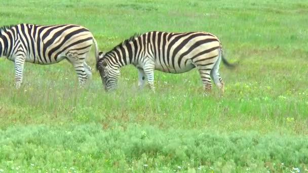 Két zebrák legeltetés a vadonban, a zöld fű