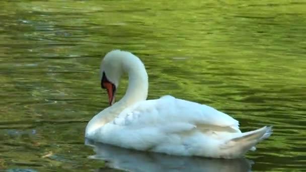 fehér hattyú a tóban úszó