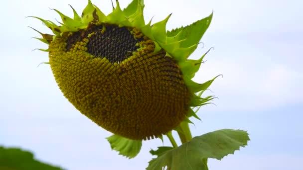 Zralé slunečnice. Viditelné slunečnicová semena