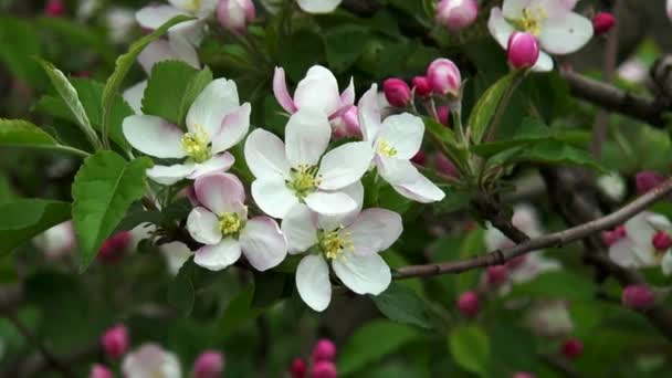 Blossoming apple. Branch of apple tree in bloom in the spring.