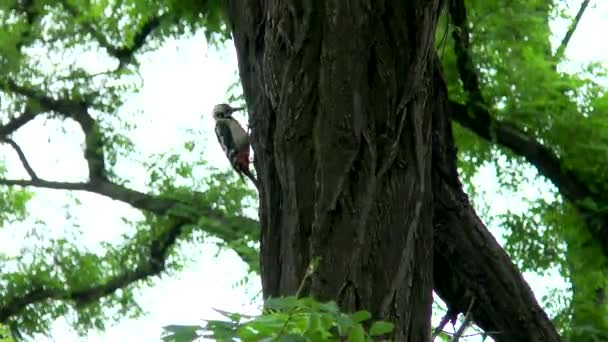 woodpecker hollows a tree.