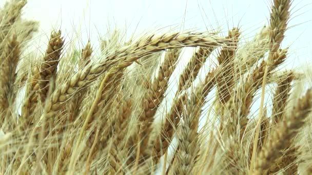 in the field ripe ears of barley.