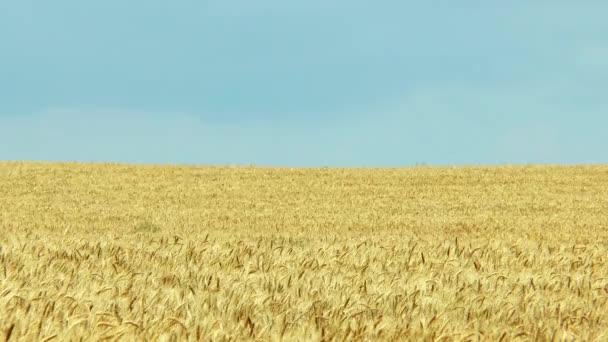 Búza sárga mezőben és kék ég