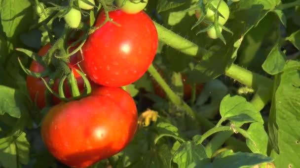Červená rajčata na větvi