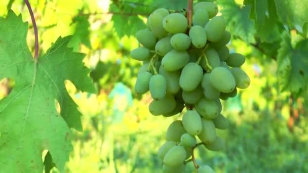 Brush of green grapes