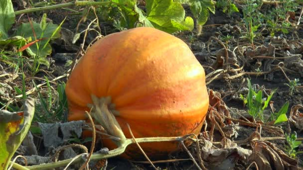 kulaté oranžové dýně