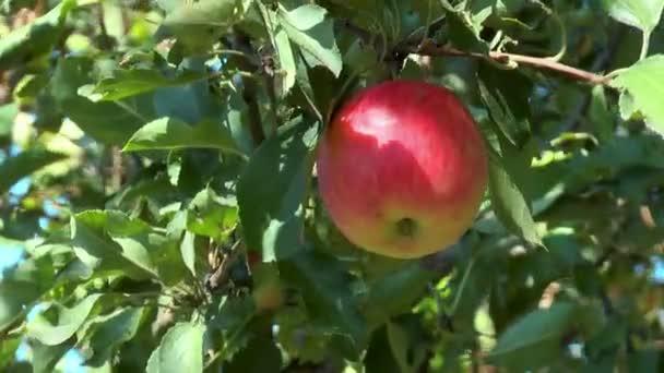 vörös alma egy ágon