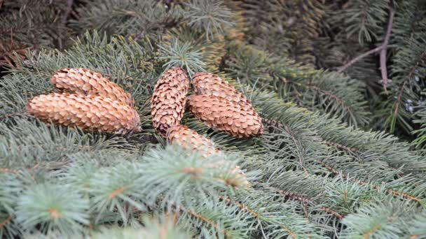 Pinecones lying on a branch of spruce