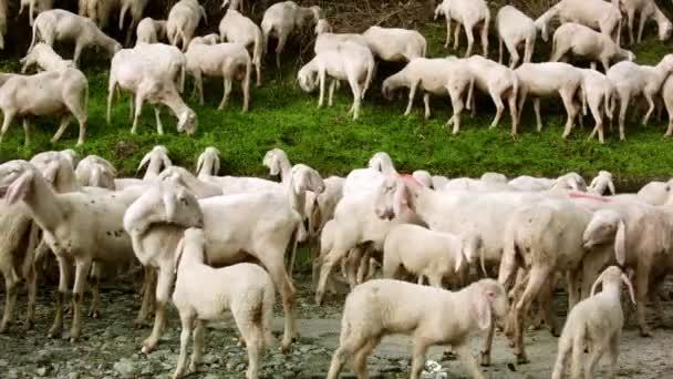 Stádo koz na pastvu jíst trávu