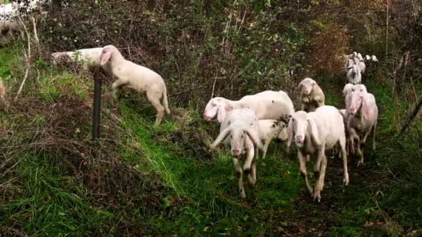 Ziegenherde auf der Weide