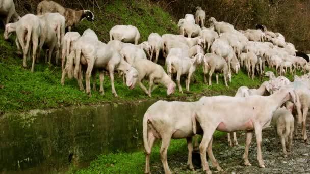 Ziegenherde auf der Weide frisst Gras