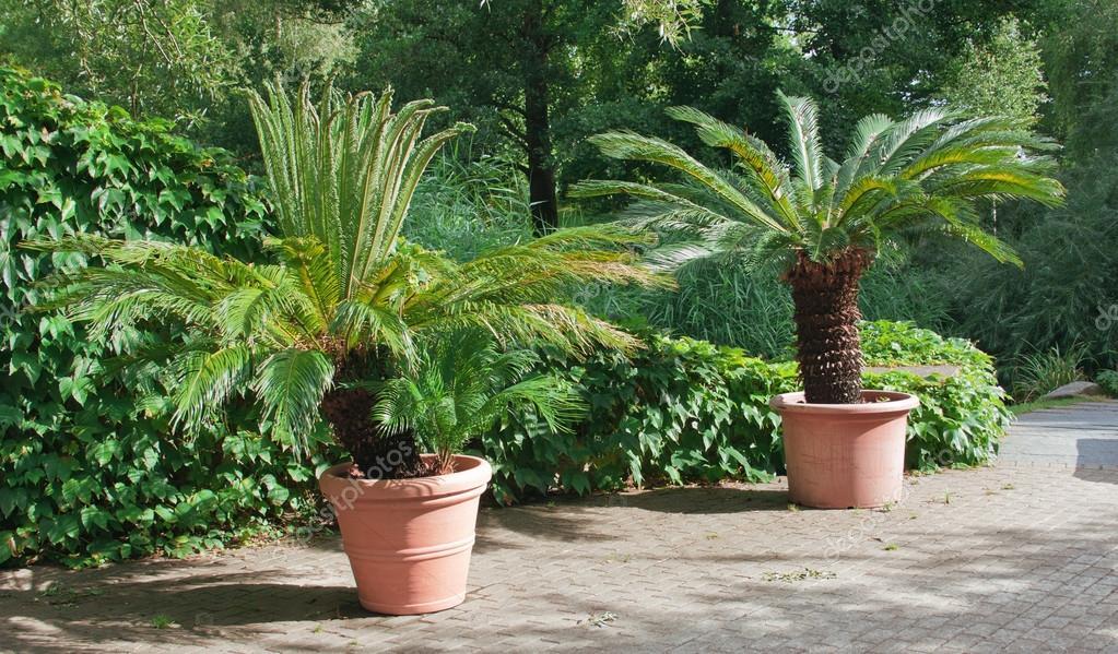 Jardín paisaje. Palmeras en macetas — Foto de stock © kuzina1964 ...