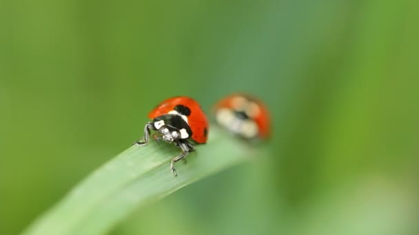 Dvě berušky na stéblo trávy