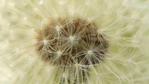 Pampeliška semena makro
