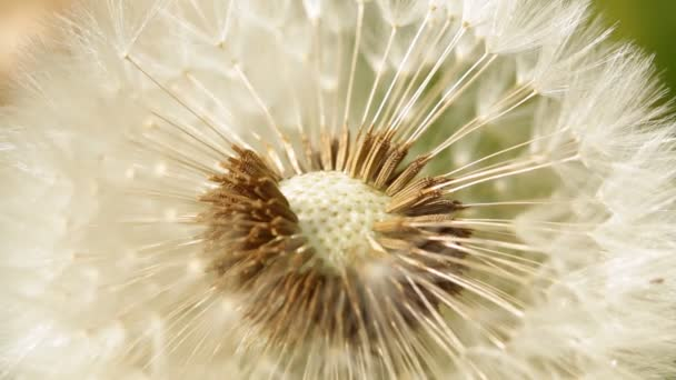 Pampeliška semena zblízka