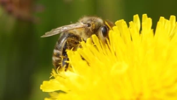 méhecske egy pitypangon
