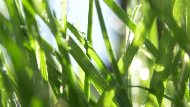 Makro záběr zelené trávy s kapkami vody v ranním slunci. Jarní pocit.