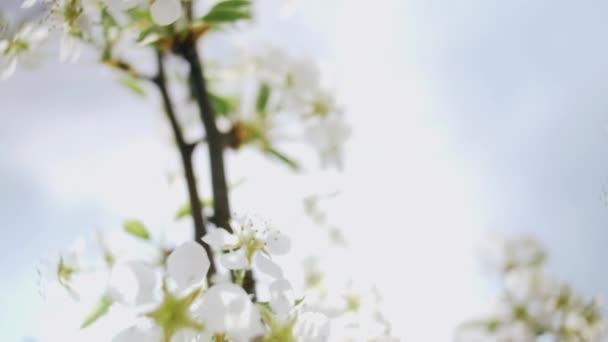 Cherry blossom blooming in sunlight. 4k.