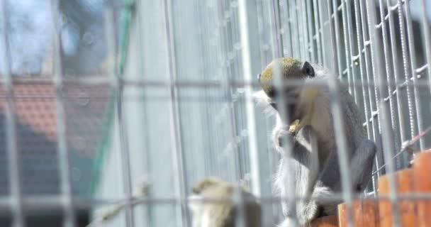 Opice v zajetí jíst