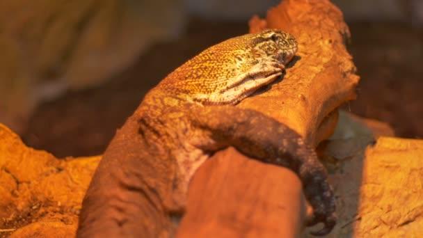 Komodo Dragon Reptile