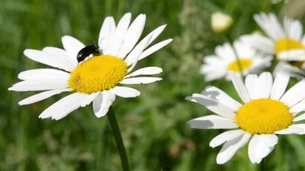 Beetle on Daisy Flower