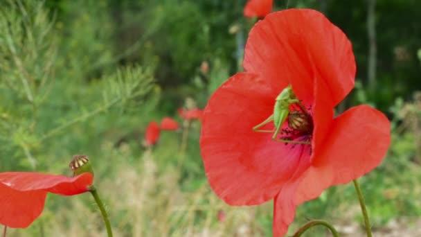 Kobylka na Makový květ