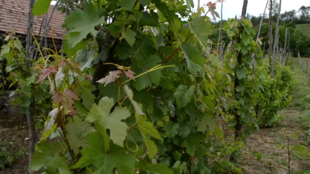 Tradiční pěstování révy vinné hrozny