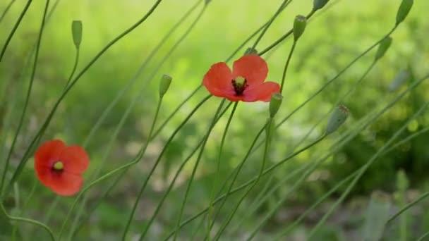 Dva mák Květiny ve větru