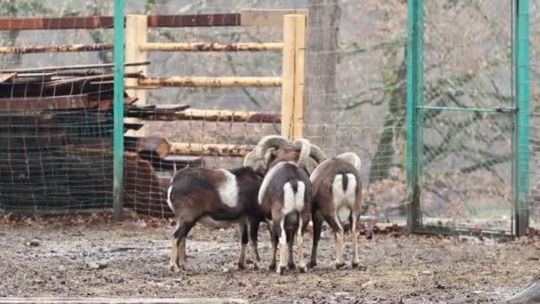 Skupina Mouflons