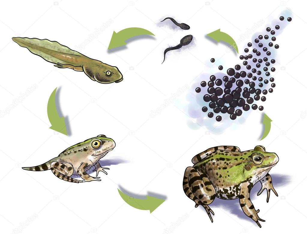 Stock Photo Frog Life Cycle on From Tadpole To Frog