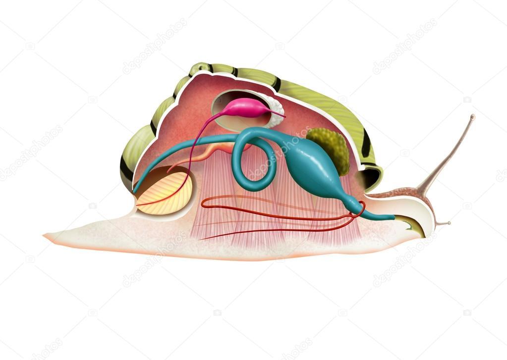 Snail anatomy — Stock Photo © nicolasprimola #63795847