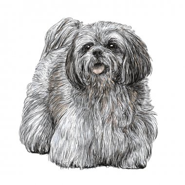 Lhasa Apso hand drawn