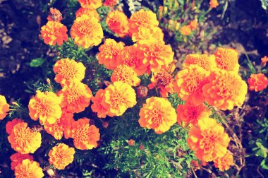 Marigold bright flowers ith green leaves in the garden. Flowers close up, growing, top view. Bright marigold flowers from above. Flora design, flower background, garden flowers. Flowers no people.