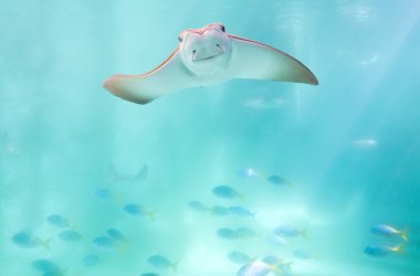 cute stingray swimming under blue ocean