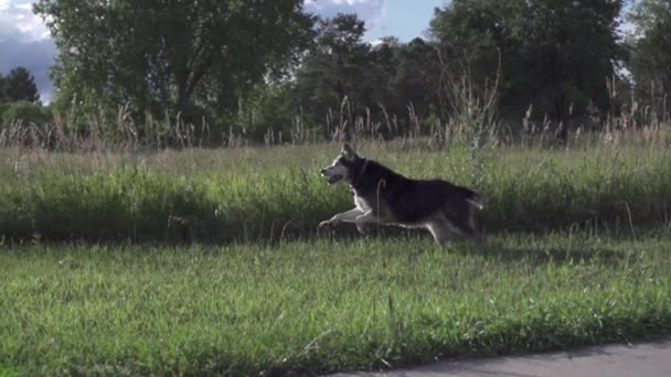 Dog runs in park, finds woman in tall grass, slow motion (240 fps)
