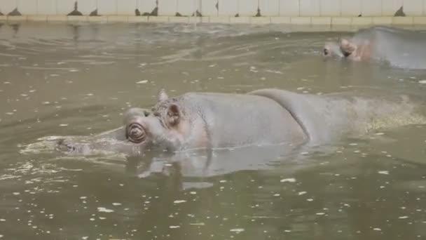 Zwei Flusspferde schwimmen im Wasser des Schwimmbeckens und öffnen den Mund, um Wasser zu trinken