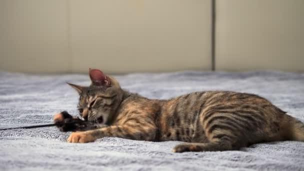 Šedá kočička si hraje s hračkou na posteli s šedou přikrývkou. Koncept mazlíčků
