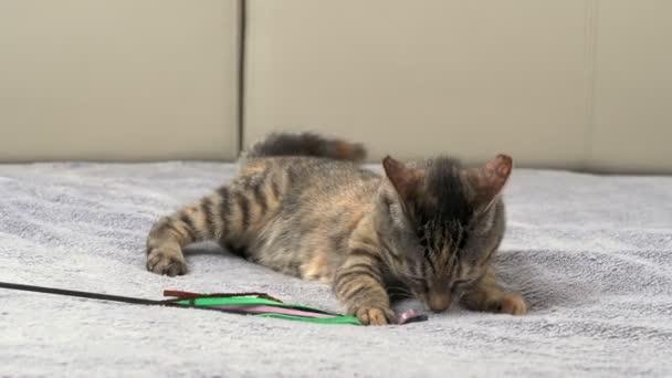Šedá kočka leží na posteli s šedou přikrývkou a hraje si s hračkou. Koncept mazlíčků