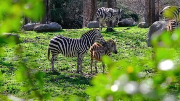 Felnőtt és fiatal fekete és mintás zebrák zöld füvön és a vadon termő növények ága mögött az állatkertben napsütéses időben. Lassított mozgású videó