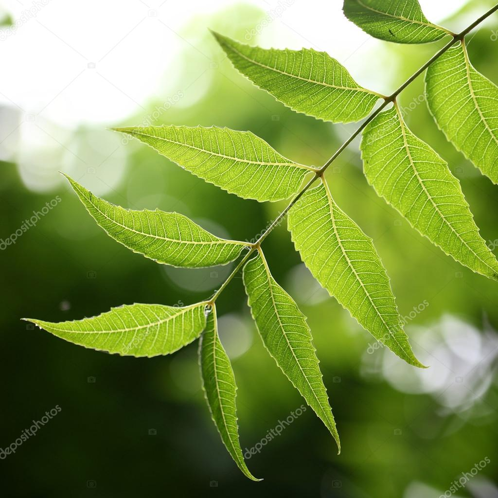 Medicinal plant - neem leaves