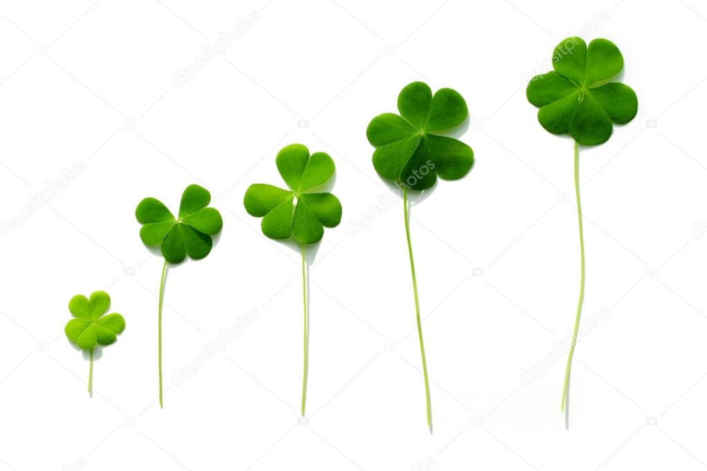 Three Leaf Clovers Isolated On White Stock Photo Qpicimages