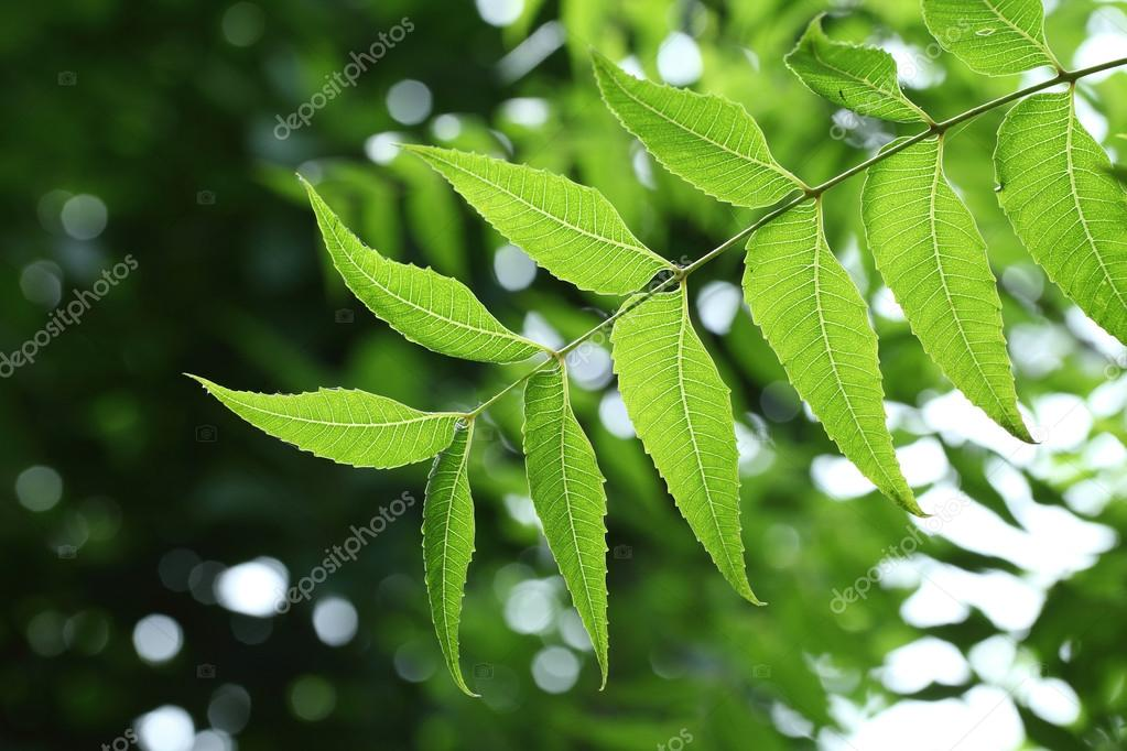 Neem leaves -Medicinal plant