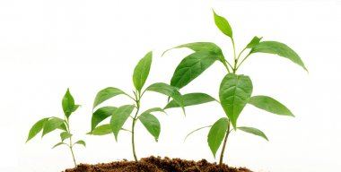 Plant growth-Baby plants against white